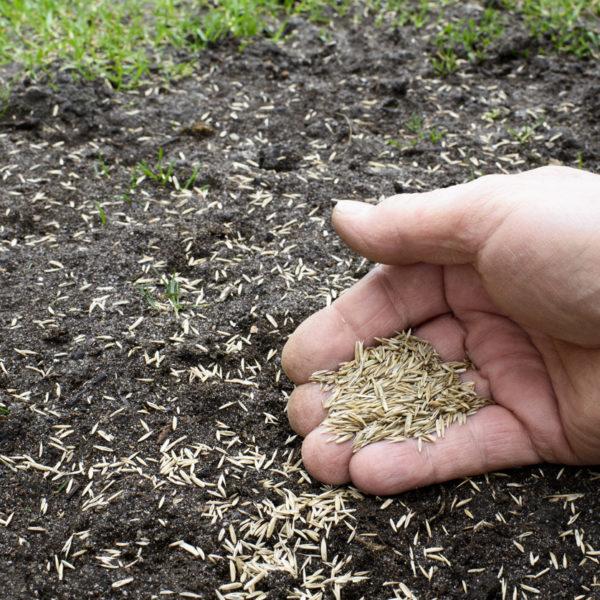 Cómo plantar césped natural en el jardín